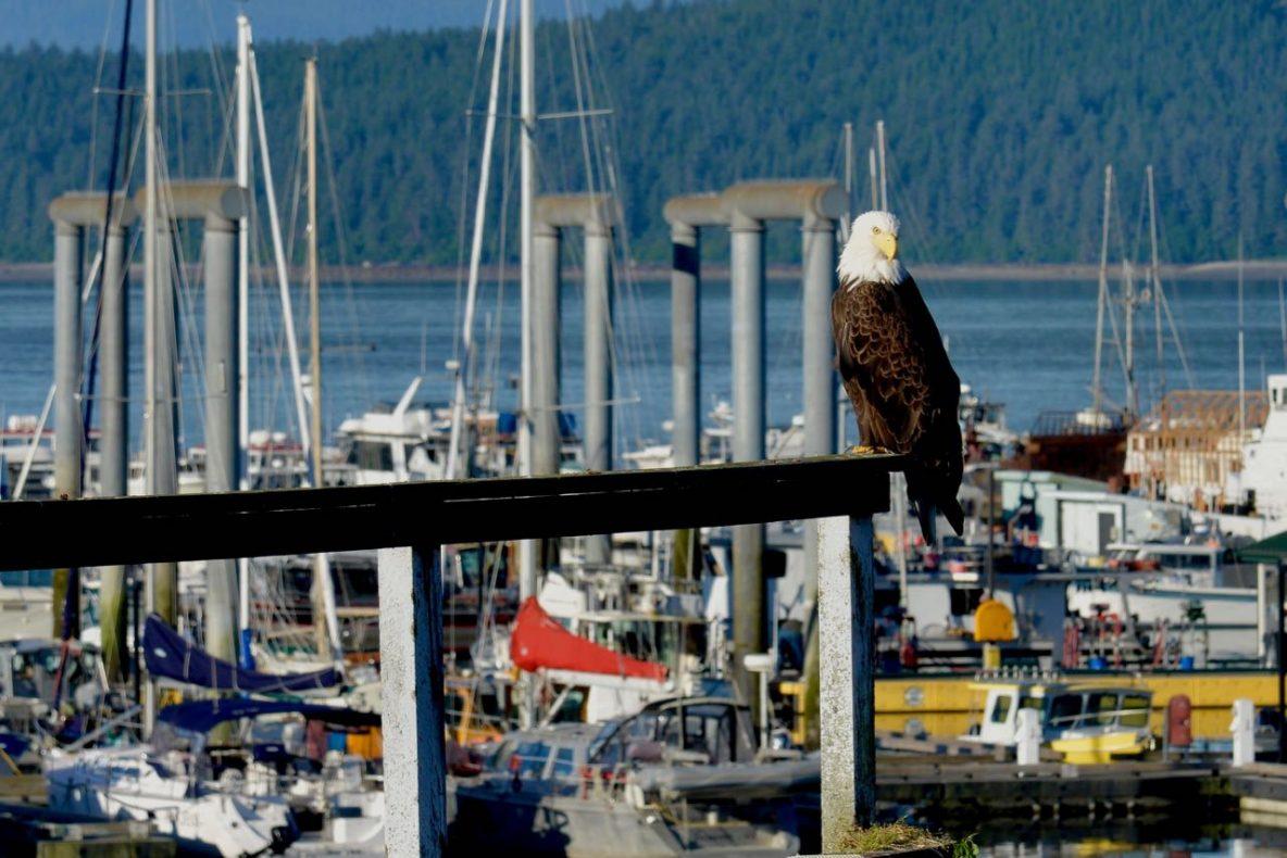 Eagle Eye Eagle at the Dock