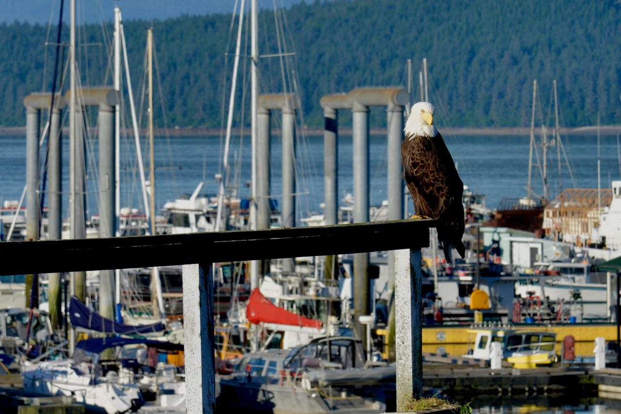 Eagle Eye Eagle at the Dock