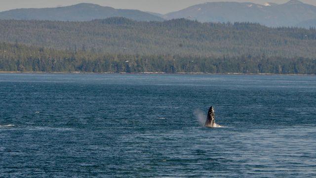Beluga Breaching