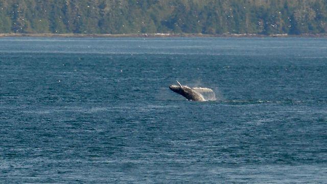 Beluga Showing Off