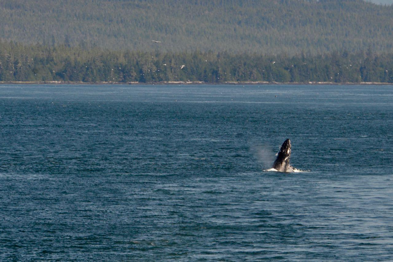 Beluga Breaching 2